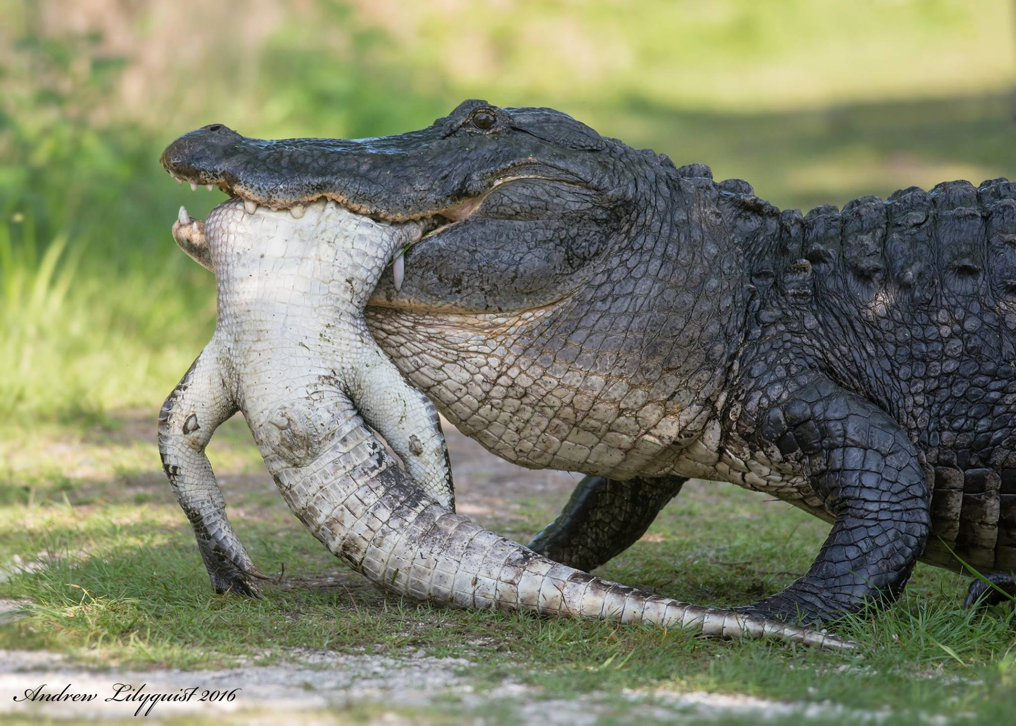 Alligator Eats Another Alligator In An Alligator Reserve