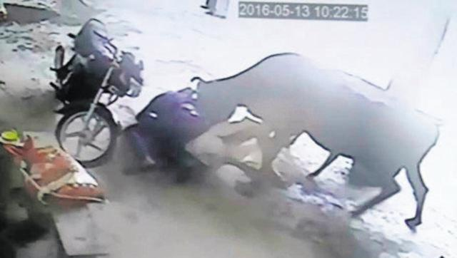 Cow attacking the attackers, jasonandrews2014 /LiveLeak