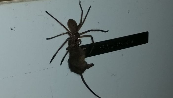 Huntsman spider and mouse