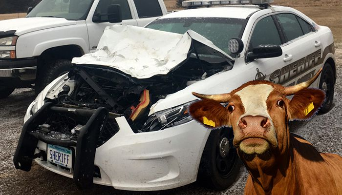cow struck by deputy looking for a cow